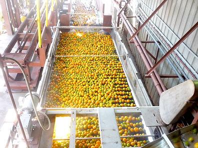 Florida Oranges being washed