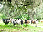 Florida Cattle under a tree