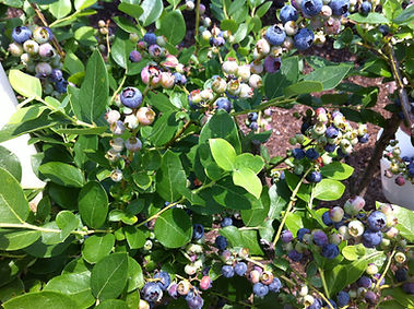 Florida Blueberries