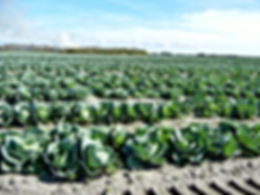 Rows of green cabbage