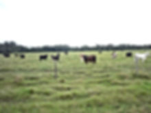 Florida Cattle