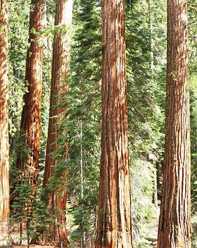 Redwood_Cedar_600x600_crop_center.jpg