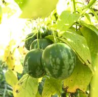 Melon Pears/Tzimbalo (Solanum caripense)