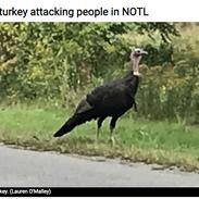 Wild turkey attacking people in NotL