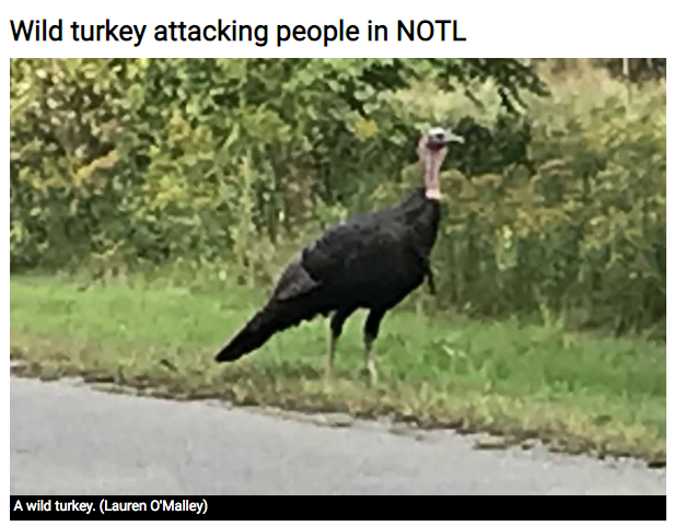 Wild turkey attacking people in NotL