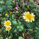 Edible chrysanthemums (Shungiku)