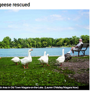 Geese rescued from rescue