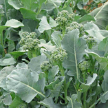 Rapini (broccoli rabe, brassica ruvo)