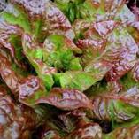 Royal Red lettuce