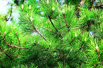 Protect your trees and shrubs from insects and disease! Tree Sprays, Tree Injections, Plant Deep Feeds, Dormant Oils, Pine Sprays, Emerald Ash Borer Sprays. Insect & disease diagnosis & control, your tree care experts!