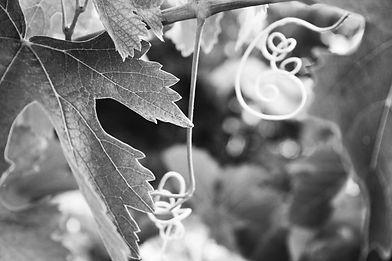 Feuilles de vignes en noir et blanc prises pour le Domaine Art Mas à Visan dans le Vaucluse