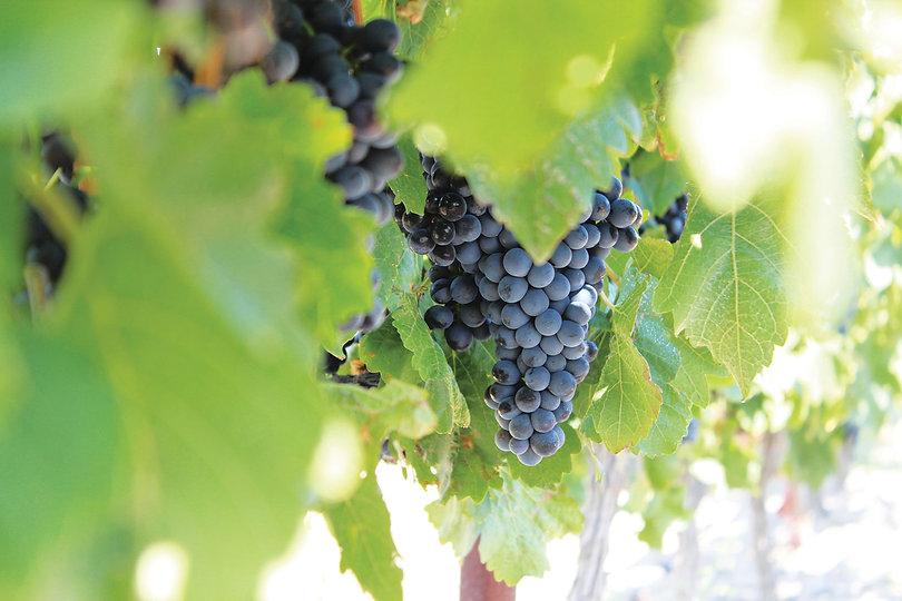 Domaine Depeyre Vigneron Vin Roussillon France Photo Vignes Raisin PrismeAndCo