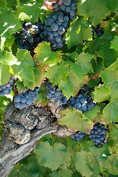 Cèpe de vigne avec des raisins rouges avant les vendanges dans les vignes du Clos du Père Clément