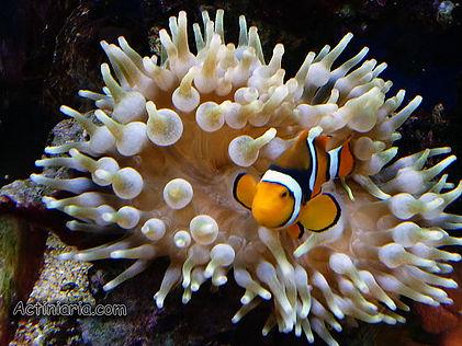 Salt water Aquarium Inverts-Anemone 2 | tropical-hobbies