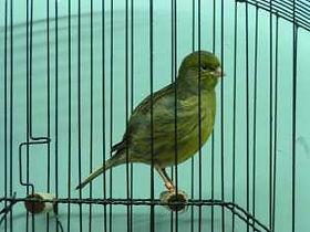 Vivariums-birds guide-Fife Canary | tropical-hobbies