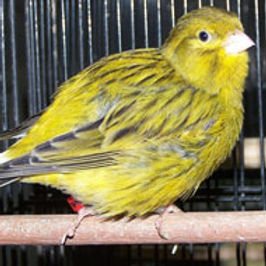 Vivariums-birds guide-Fife Canary | tropical-hobbies