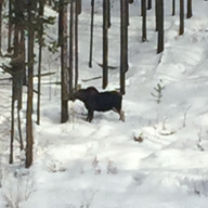 Moose on the loose by Suzanne Morin