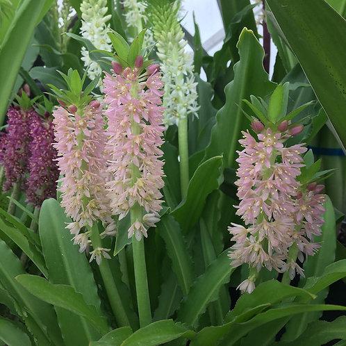 "Eucomis x ""Nani"" - Large Flowering Size Bulb"