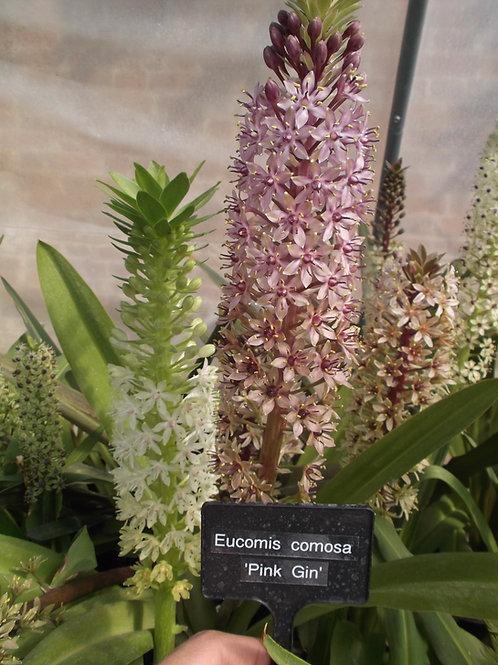 "Eucomis Comosa ""Pink Gin"" - Flowering size Bulbs"