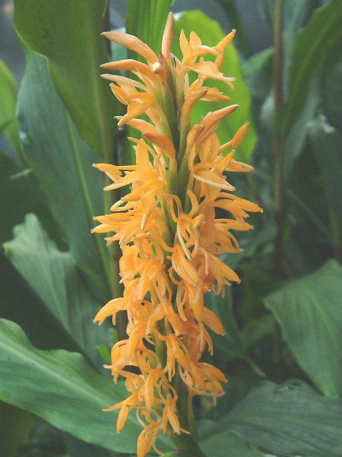 Hedychium 'Kalimpong Yellow' rhizome