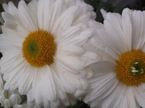 Chrysanthemum 'Southway Ski'