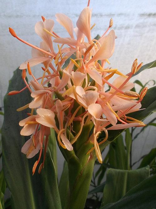 Hedychium x Shamsheri rhizome