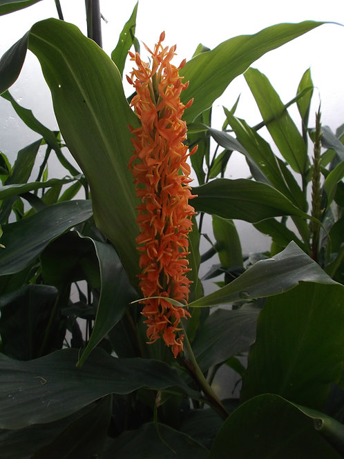 Hedychium densiflorum 'Assam Orange' rhizome