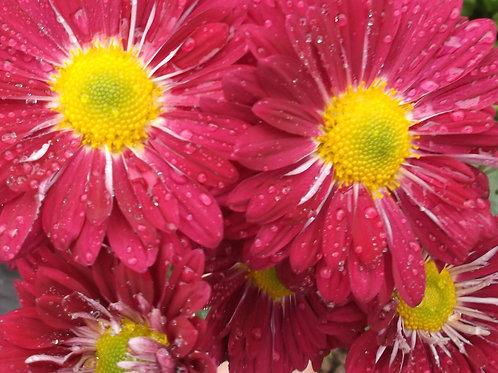 Chrysanthemum 'Southway Sloe'
