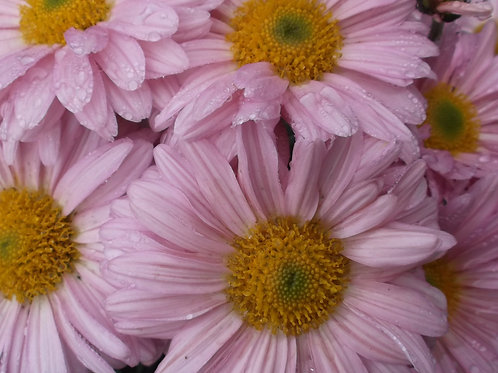 Chrysanthemum 'Southway Spritzer'
