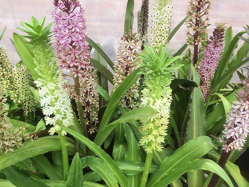 Eucomis comosa Mix - Pack of ten fresh Seeds