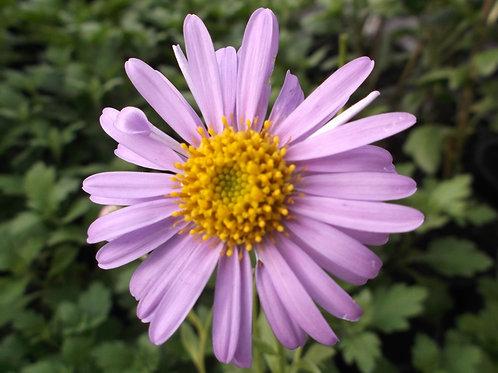 Aster x frikartii 'Flora's Delight'