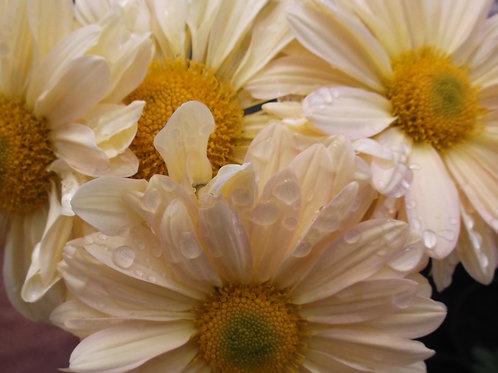 Chrysanthemum 'Enbee Wedding Honey'