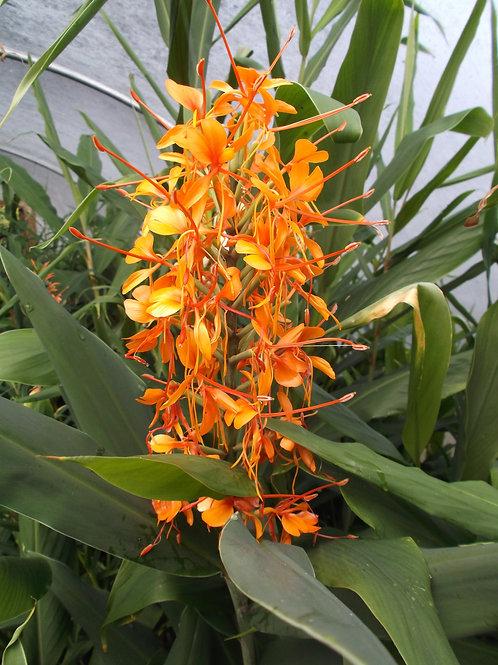 Hedychium 'Tara' rhizome