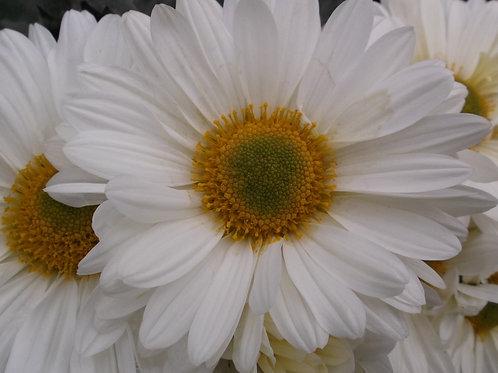 Chrysanthemum 'Enbee Wedding Primrose'