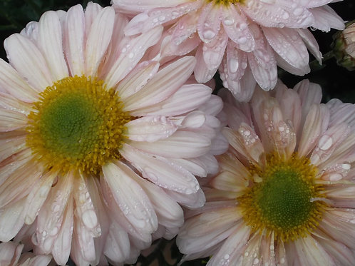 Chrysanthemum 'Southway Sheba'