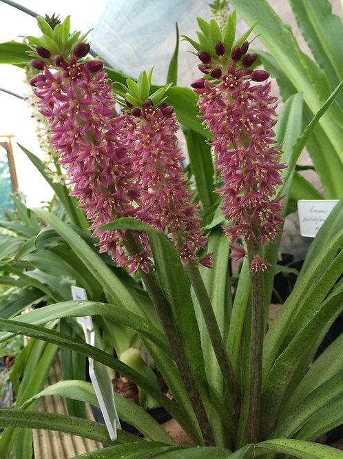 """Eucomis x """"Leia"""" - Large Flowering Size Bulb"""