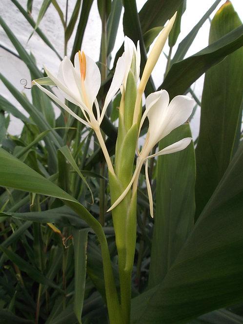 Hedychium forrestii rhizome
