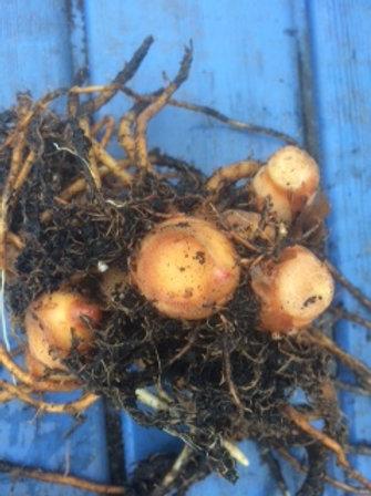 Hedychium x Elizabeth rhizome