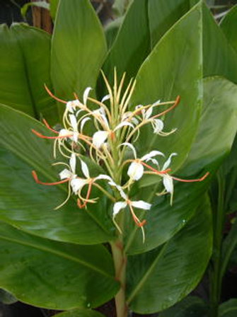 Hedychium yunnanese rhizome