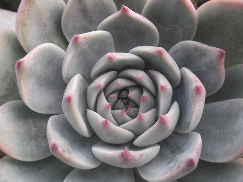 Echeveria chihuahuaensis