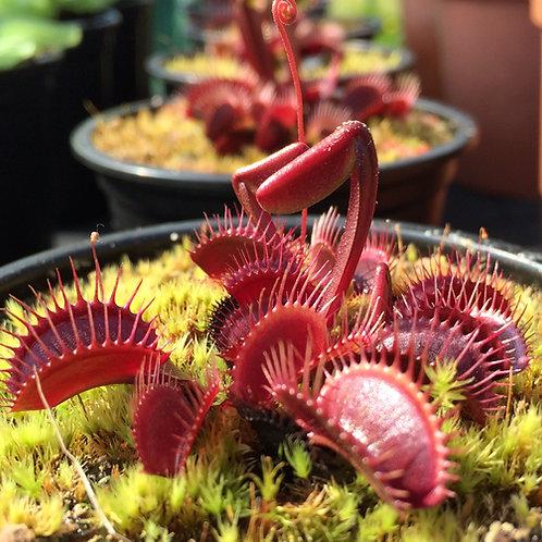 Venus Flytrap - Dionaea muscipula 'Pink Venus'
