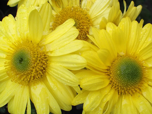 Chrysanthemum 'Southway Sunbeam'