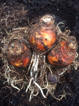 Eucomis zambesiaca - Three Flowering Size Bulbs