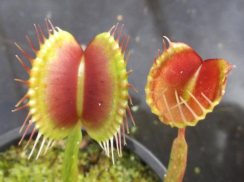 Venus Flytrap - Dionaea muscipula 'Trichtefalle'