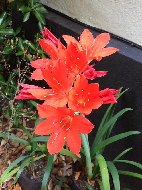 Cyrthanthus elatus - Scarborough lily 3 x bulbs