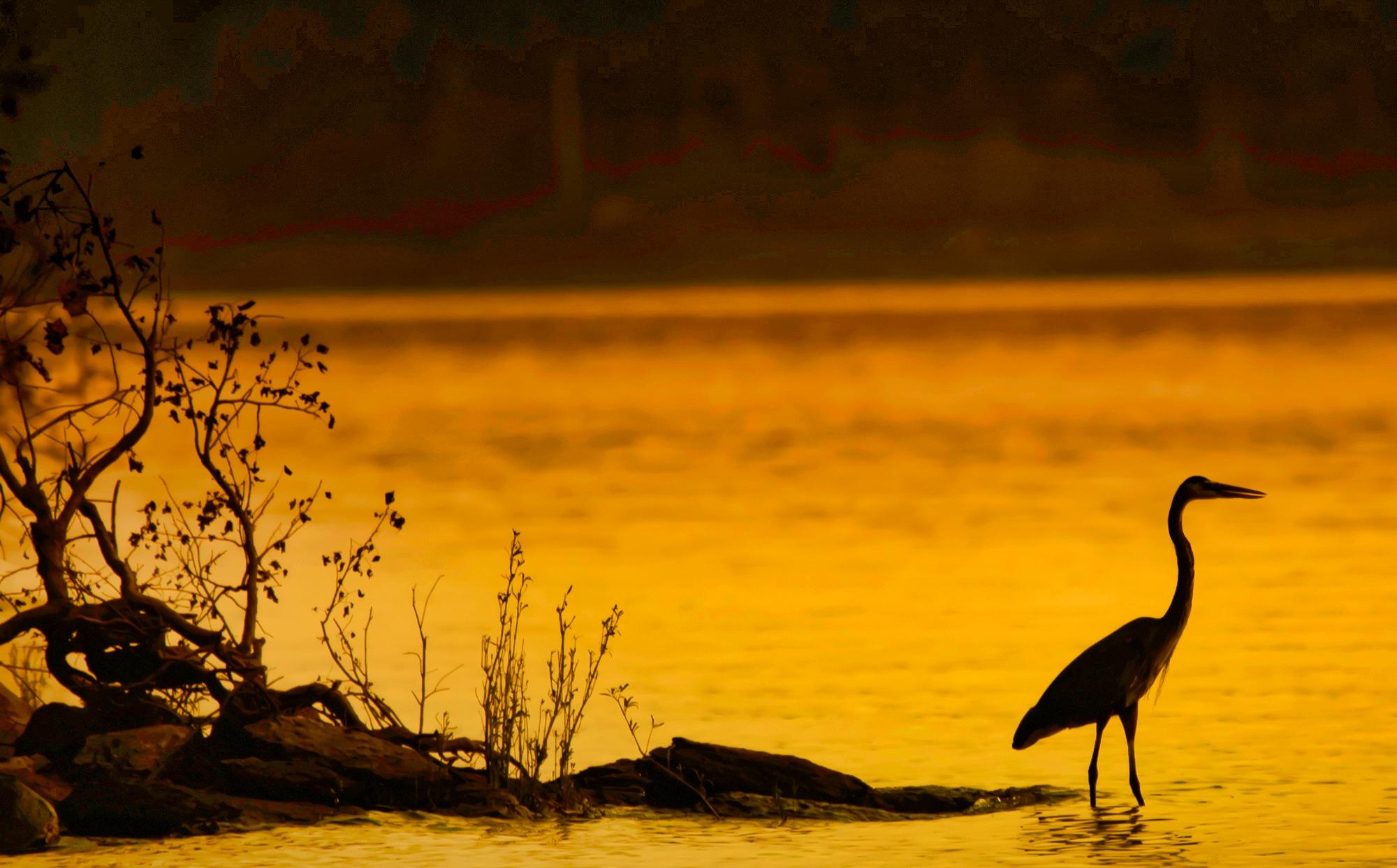 58150F - Blue Heron at Sunset