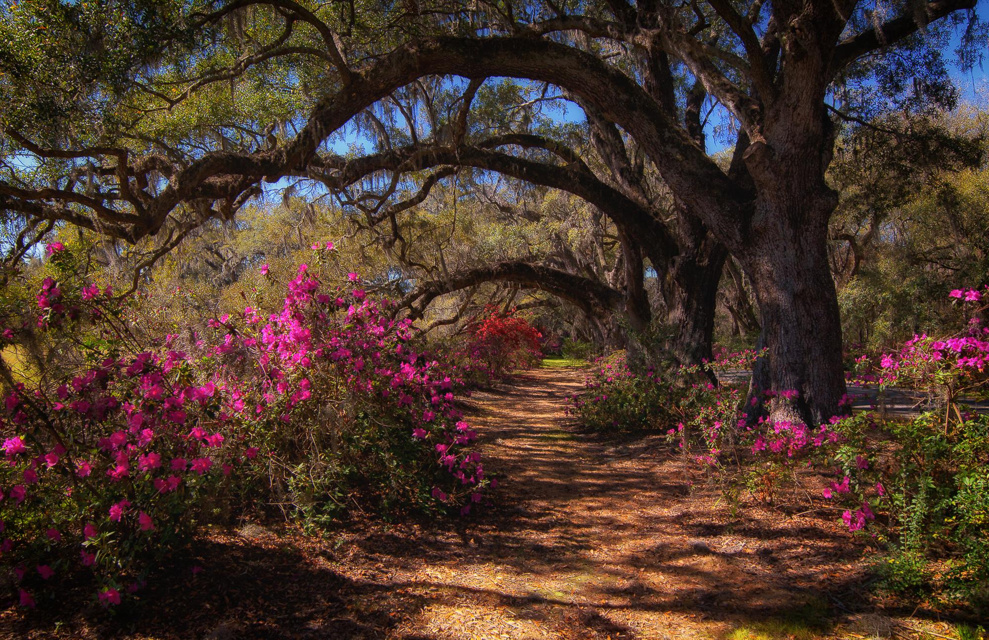 58074A - Magnolia Plantation Azaleas