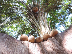 Shapaja fruits at our farm
