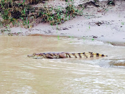 White caiman on the river bank