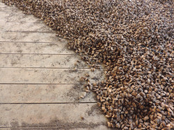Brazil nuts at the processing plant